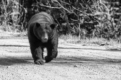 Big Hill Black Bear