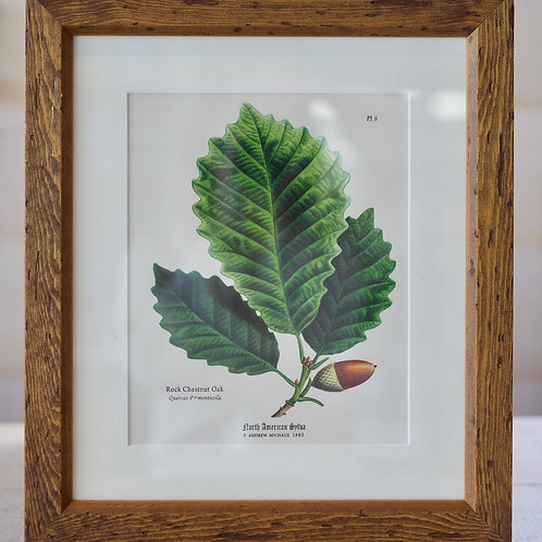 BOTANICAL PRINT (Rock Chestnut Oak)