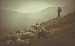 shepherd-sheep-12-1_edited_edited