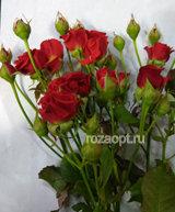 """Роза кустовая """" Мирабель"""" 50см"""