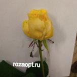 "Роза "" Ванила "" 60см"