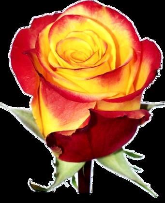Роза100