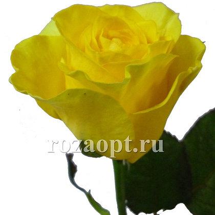 Роза Желтая (10шт.)