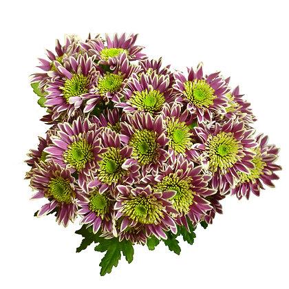 Хризантема кустовая сиреневая (5шт.)