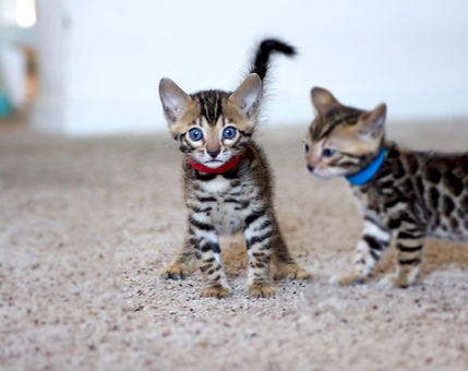 Red Collar Bengal 1[1].jpg
