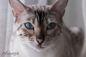 Cat Photography Bengal013[1].jpg