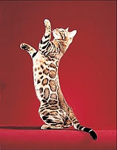 220px-Paintedcats_Red_Star_standing_edit