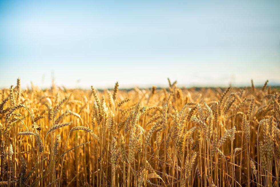 Organic Farming Techniques Wheat