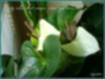 WhiteAnthurium-framed.jpg