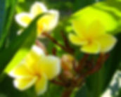 YellowPlumeria.jpg