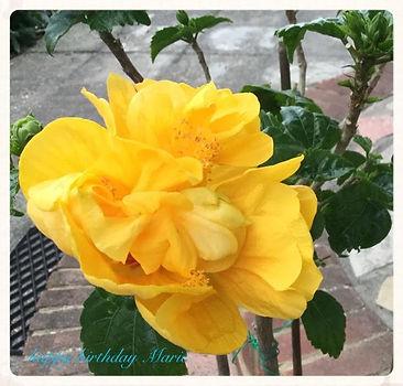 JeanG - Double_hibiscus_Marie_ 2016_Birt