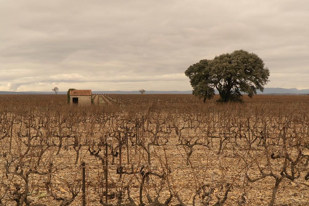 Vineyards in December © Samantha Brown
