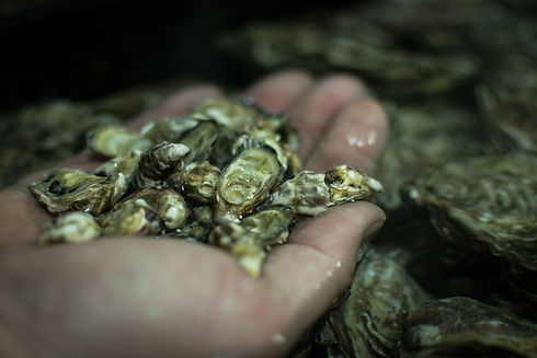 Bébés huîtres