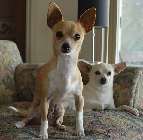 A tan and white chihuahua looking at the camera with head cocked. 2nd white chihuahua behind him.