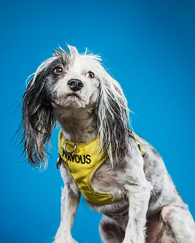 """portrait of chinse crested dog wearing yellow harness that says """"nervous"""""""