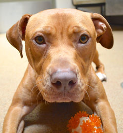 Red pit bull mix lying down and looking at camera; has a ball between his feet