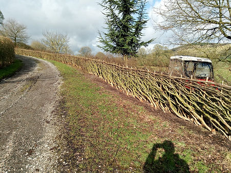 Longnor hedge laying.jpg