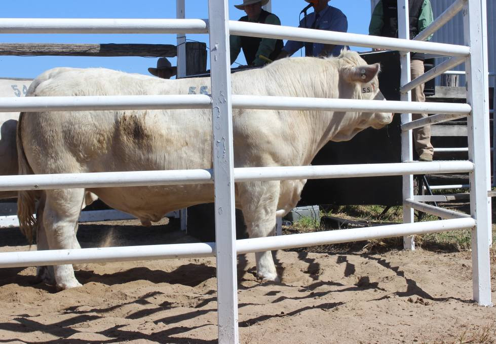 Sale topper: ANC Mardin (P), a son of ANC Huddle sold for $26,000 to Ian and Dell Price, Moongool Charolais, Yuleba.