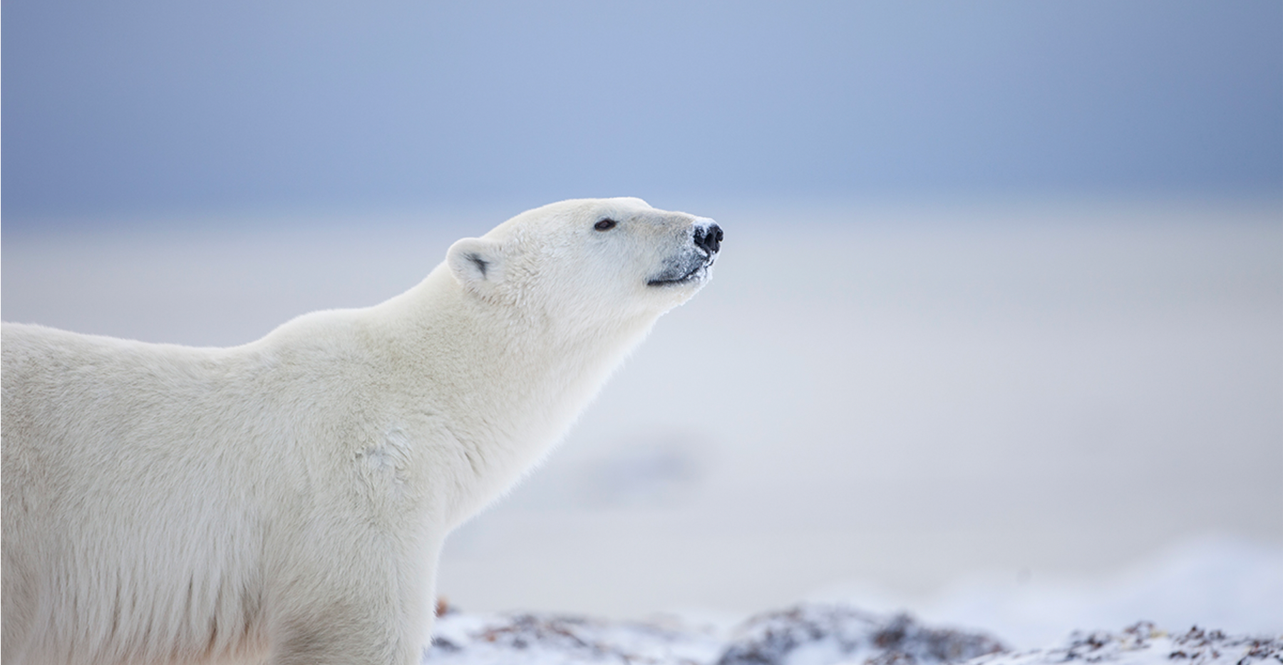 Go Off Grid and Spot Polar Bears in Canada