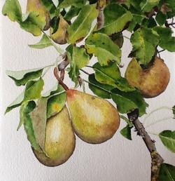 Dutch Golden Pears