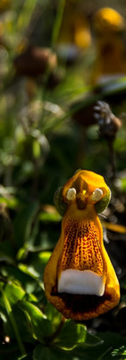 calceolaria-uniflora-torres-del-paine-spring-blooming-season