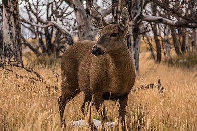huemul-endangered-deer-rare-sight-in-patagonia
