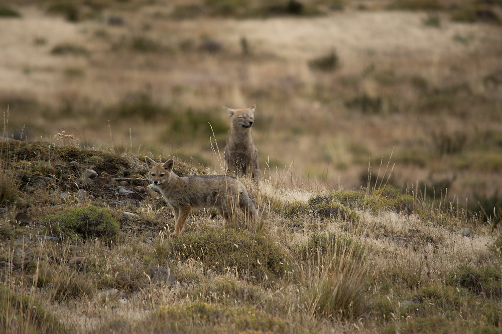 wildlife-grey-fox-photography-patagonia-torres-del-paine