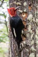 magellanic-woodpecker-chilean-pataognia-birdwatching