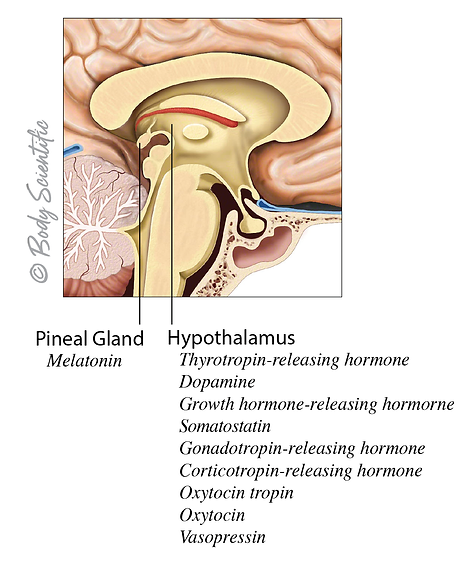 Hypothalamus and Pineal Gland