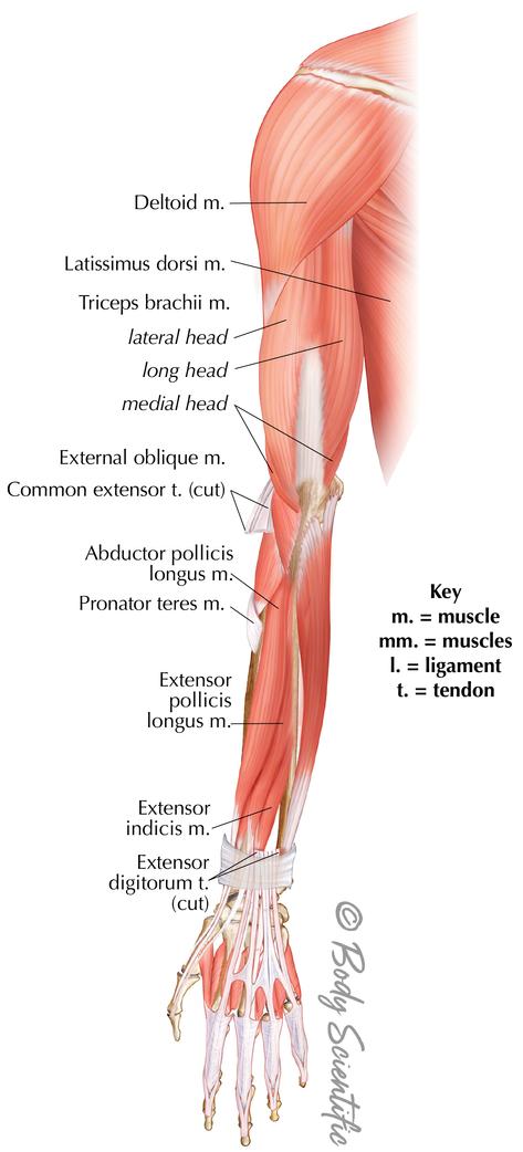 Posterior Arm (Deep)
