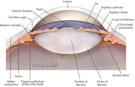 Cornea and Lens