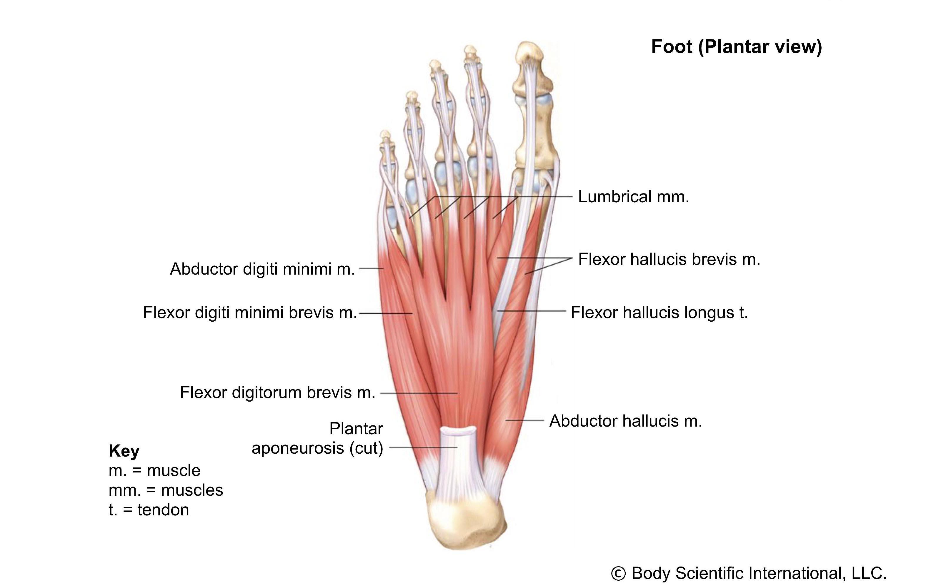 Foot Plantar