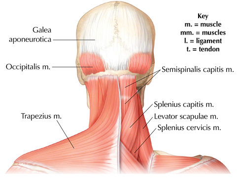 Posterior Head and Neck Muscles