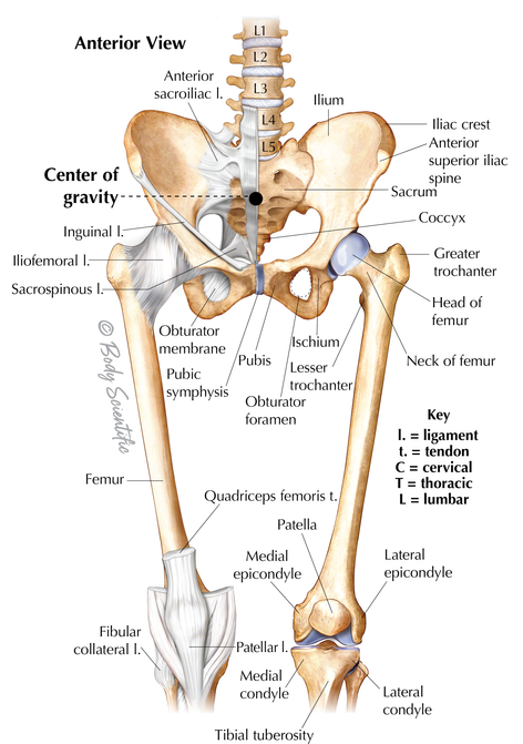 Hip and Thigh (Anterior View)