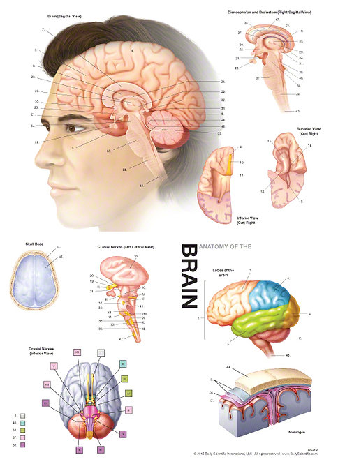 Brain Anatomy - Anatomical Wall Chart