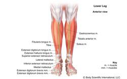 Lower Leg Anterior