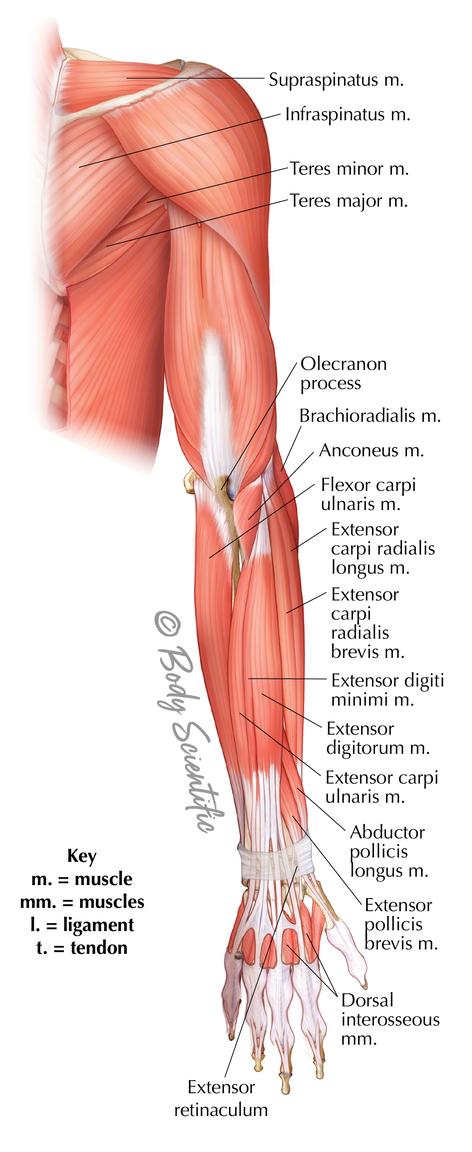 Posterior Arm (Superficial)