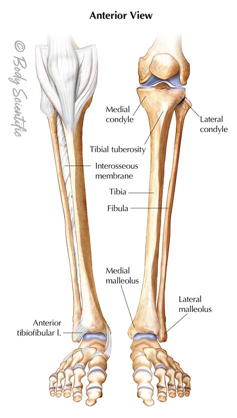 Lower Leg (Anterior View)