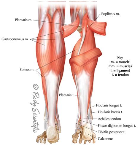 Posterior Lower Leg
