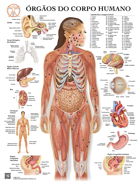 Órgãos do Corpo Humano