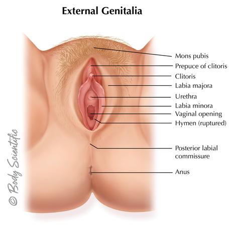 External Genetalia
