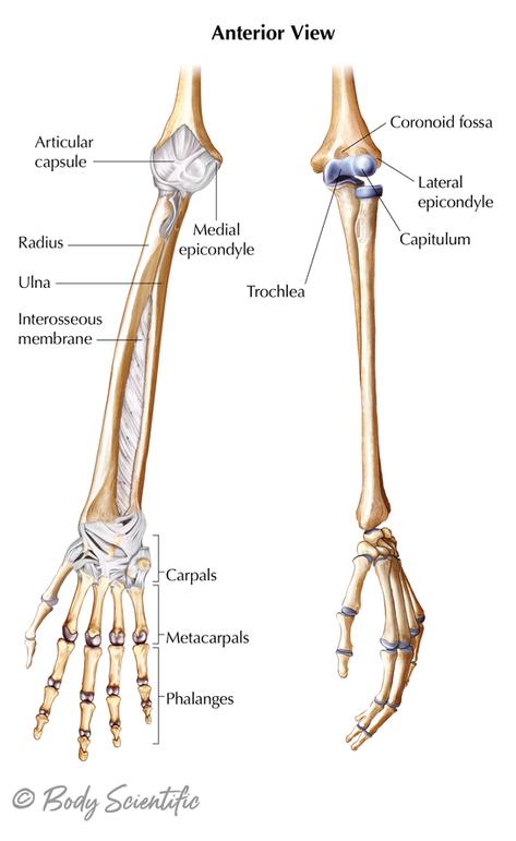 Lower Arm (Anterior View)