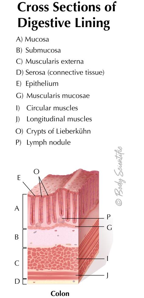 Digestive Lining (Colon)