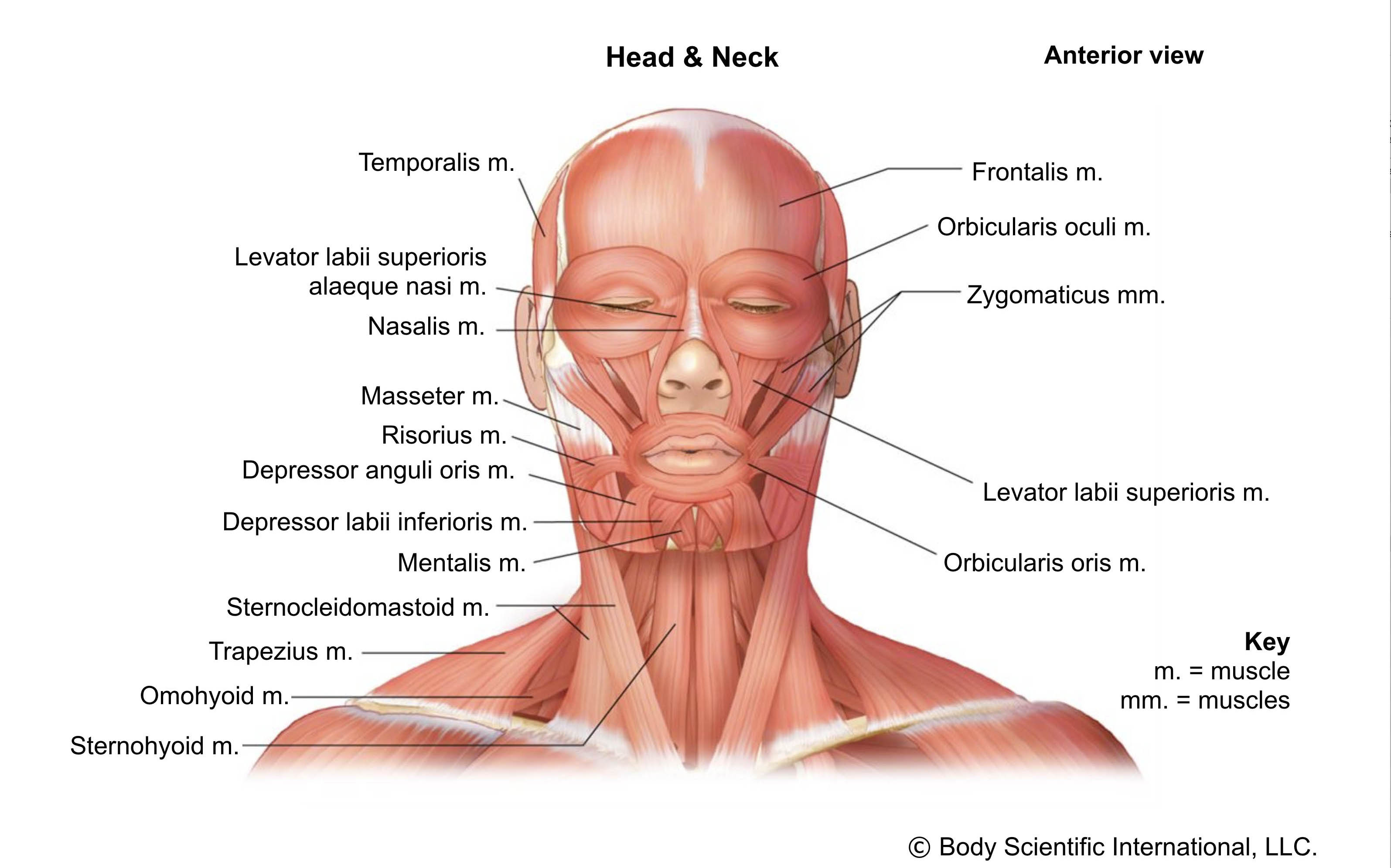 Head and Neck Anterior
