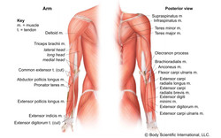 Arm Posterior