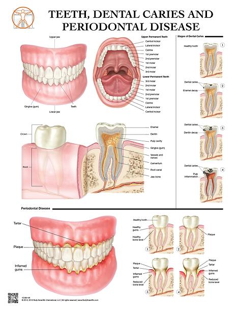 Teeth, Dental Caries and Peridontal Disease