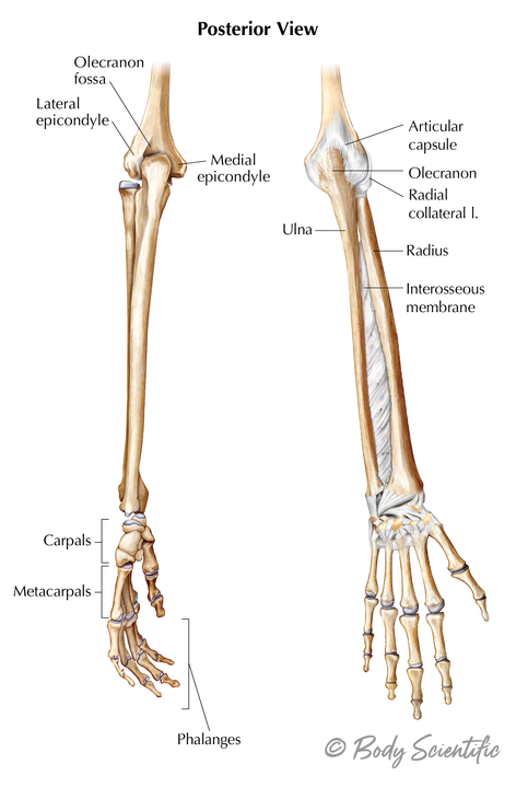 Lower Arm (Posterior View)