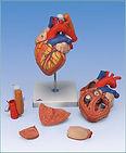 heart w trachea A313_1024x1024.jpg