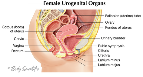 Female Urogenital Organs