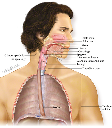 Cavidade Oral e Faringe